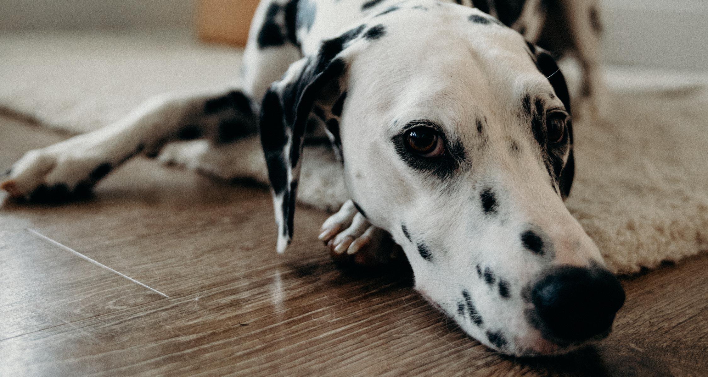 Dog Diarrhoea