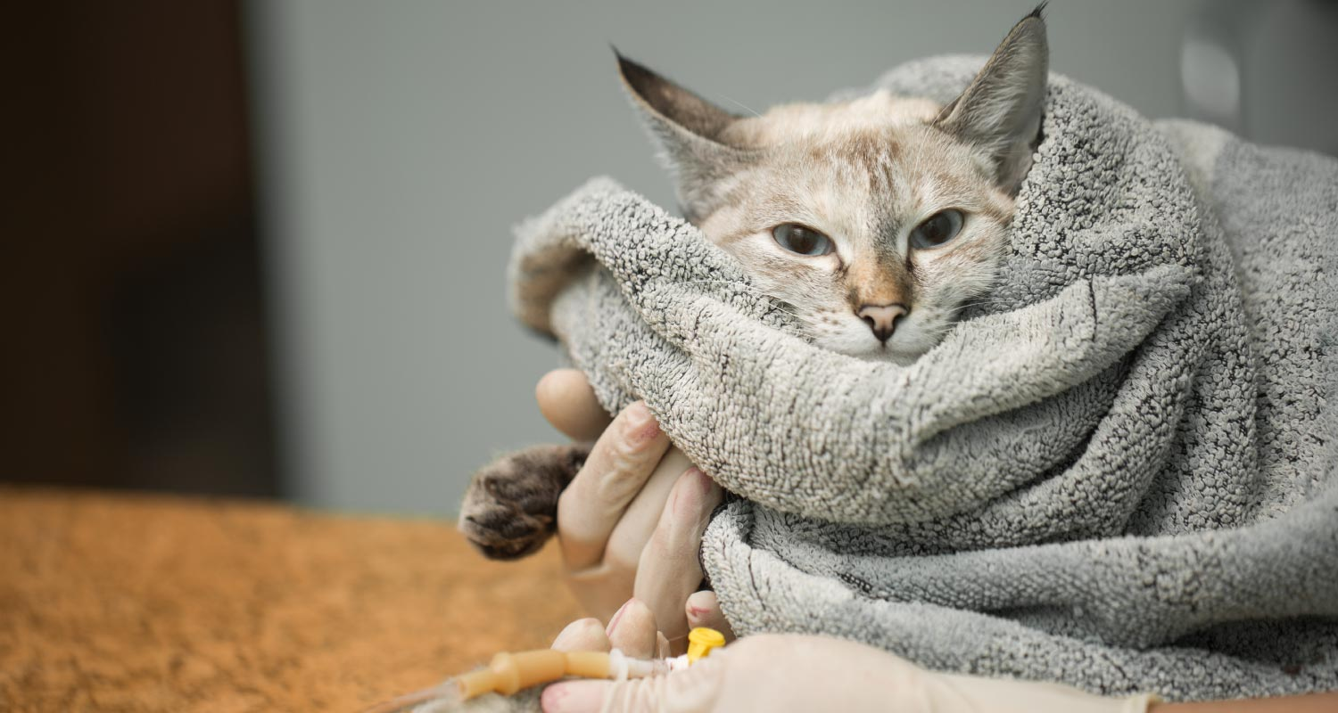 Treating and preventing cancer in cats